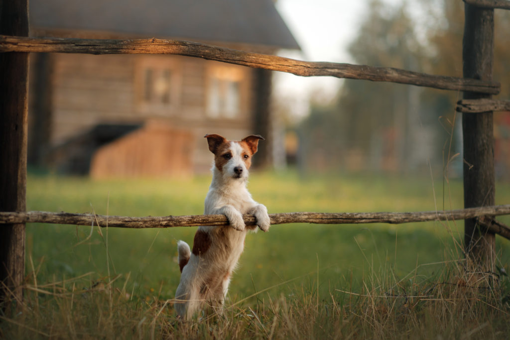 Dog in a Fence