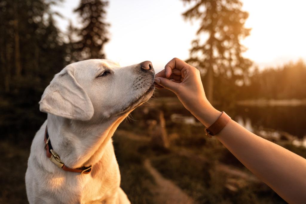 young beautiful labrador