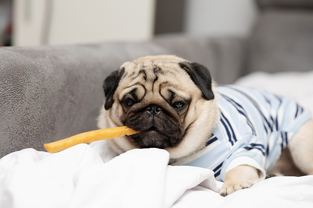 pug and a fry