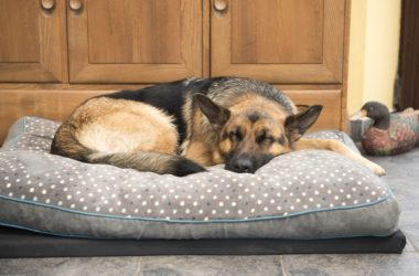 Beautiful German Shepard sleeping