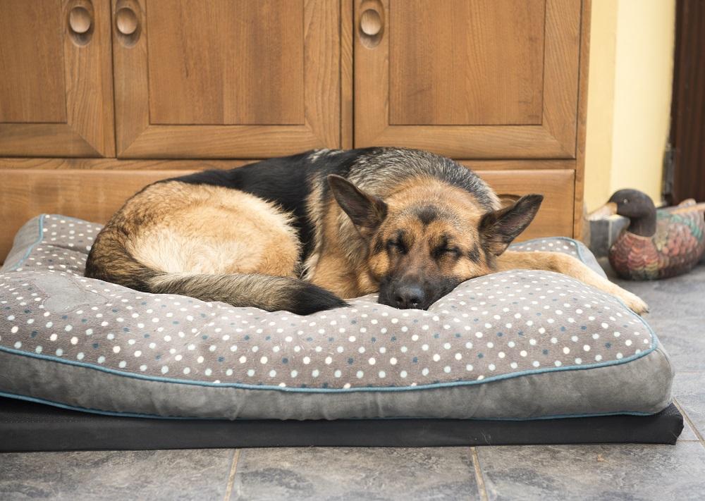 Beautiful German Shepard sleeping