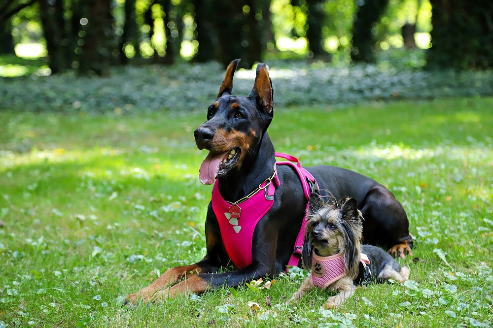 yorkie and doberman