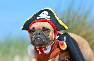 Funny fawn French Bulldog dog girl dressed up in pirate costume with hat and hook