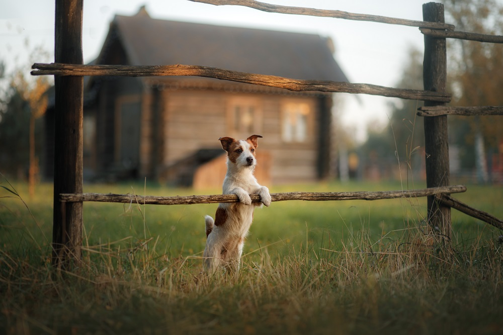 Dog Jack Russell Terrier in the village is front paws on the old fence