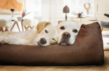 labradors on bed