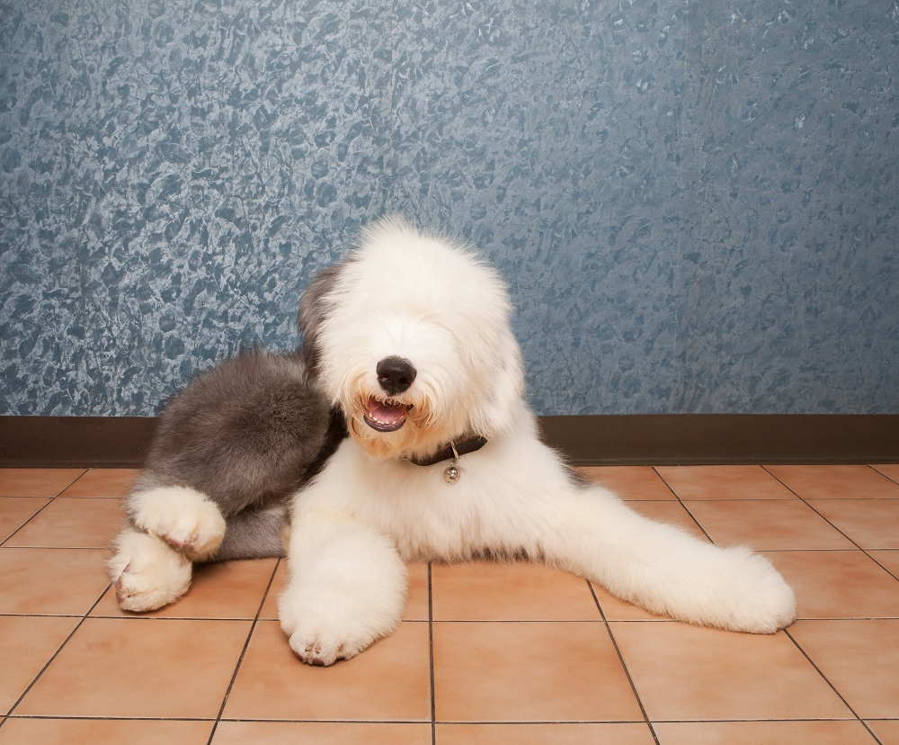 old english sheep dog lied on home ground