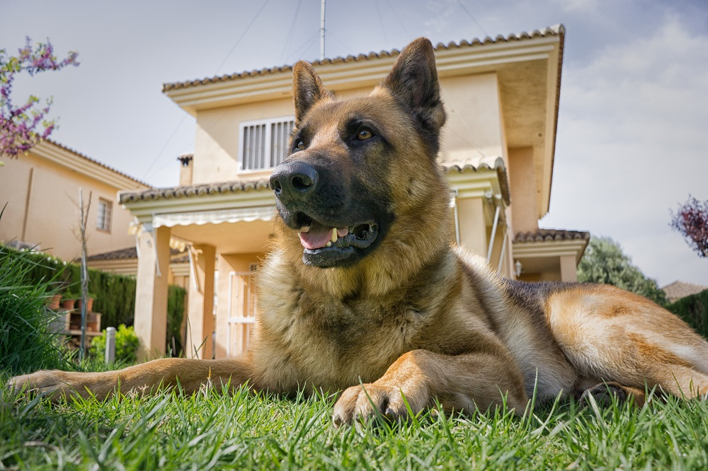 german shepherd secured in a yard with invisible dog fence